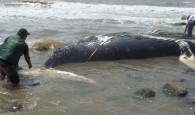 Uma baleia jubarte foi encontrada morta em praia de Barra Velha, litoral norte de Santa Catarina, neste domingo (30). A […]